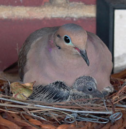 Dove and dove baby on the balcony, photo by Pat Arnow