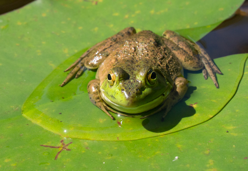 Frog on a lily pad, Monterey, Mass. Photo by Pat Arnow