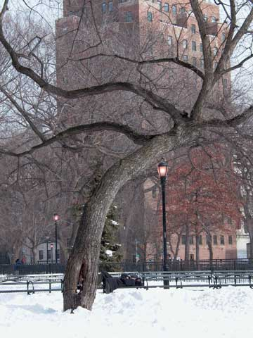 Elm and man in Tompkins Square Park, February 2003, photo by Pat Arnow